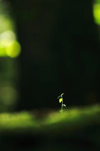木漏れ日を浴びる植物の小さな芽の写真素材 [FYI00196105]