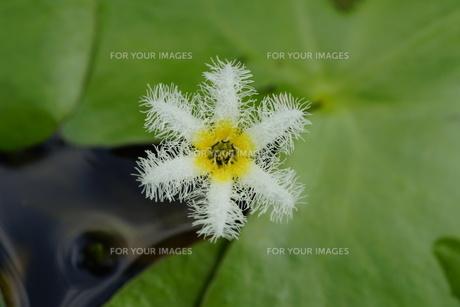 金銀蓮花(きんぎんれんか)/鏡蓋(ががぶた) 花弁6枚の写真素材 [FYI00196106]
