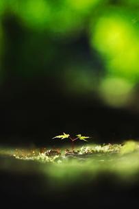 カエデの双葉の写真素材 [FYI00196119]