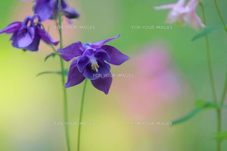 青紫色のオダマキの素材 [FYI00196121]