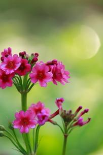 ピンク色の九輪草の写真素材 [FYI00196132]
