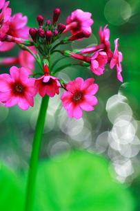 ピンク色のクリンソウの写真素材 [FYI00196151]