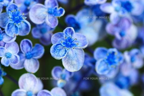 青いアジサイの素材 [FYI00196157]