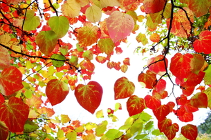 マルバノキの紅葉の写真素材 [FYI00196191]