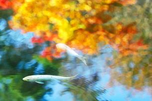 紅葉の映り込む池の鯉の素材 [FYI00196192]