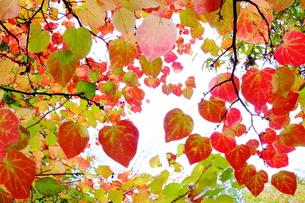 マルバノキの紅葉の写真素材 [FYI00196371]