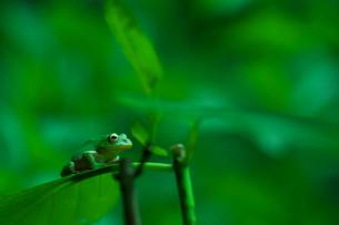 葉っぱの上のカエルの写真素材 [FYI00196390]