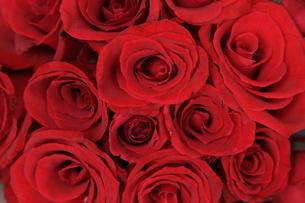 真っ赤なバラの写真素材 [FYI00196894]