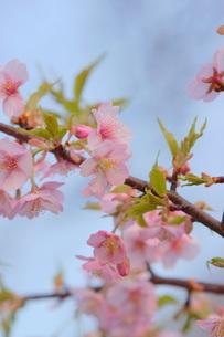 河津桜の写真素材 [FYI00197000]