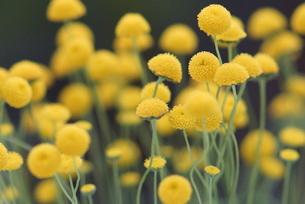 黄色の花の写真素材 [FYI00197050]