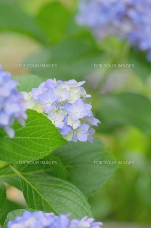 紫陽花の写真素材 [FYI00197064]