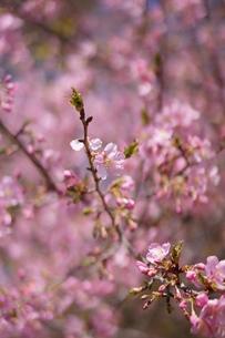 河津桜の写真素材 [FYI00197096]