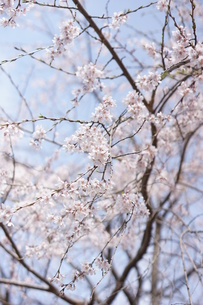 枝垂れ桜の写真素材 [FYI00197104]