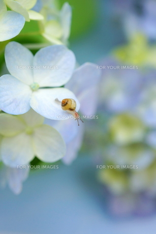 かたつむりの赤ちゃんと紫陽花の素材 [FYI00197128]