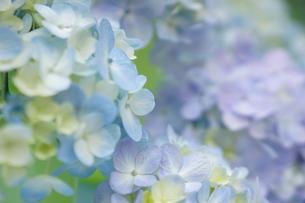 紫陽花の写真素材 [FYI00197137]