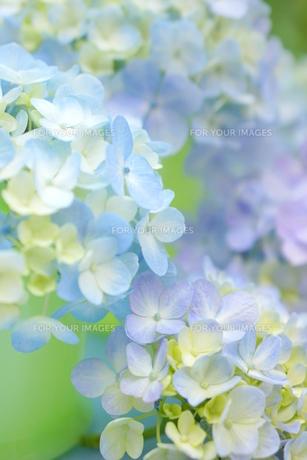 紫陽花の写真素材 [FYI00197144]