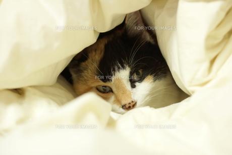 布団から顔を覗かせている三毛猫の写真素材 [FYI00197192]