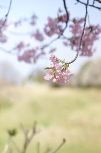 大寒桜の写真素材 [FYI00197212]