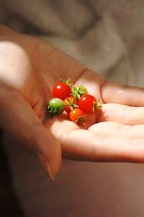 掌の上のトマトの写真素材 [FYI00197220]