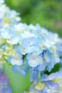 紫陽花の写真素材 [FYI00197252]