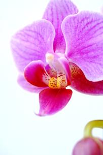 胡蝶蘭の写真素材 [FYI00197366]