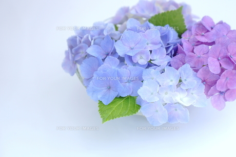 紫陽花の写真素材 [FYI00197379]