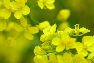 菜の花の写真素材 [FYI00197382]