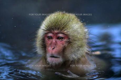 入浴中の猿の素材 [FYI00197587]