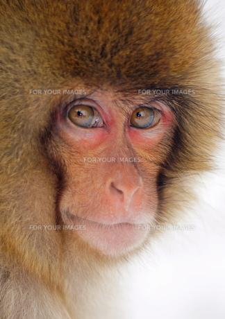 猿顔の写真素材 [FYI00197590]