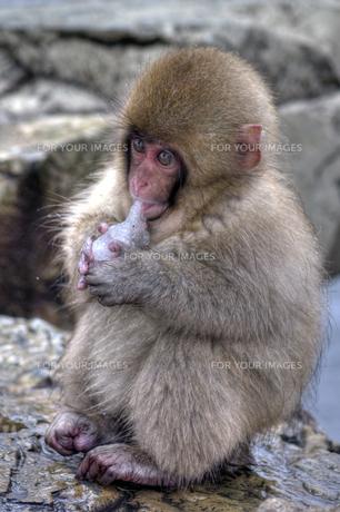 オカリナを奏でる小猿の写真素材 [FYI00197611]
