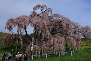 三春の滝桜4の写真素材 [FYI00197678]