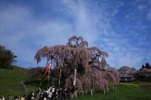三春の滝桜1の写真素材 [FYI00197701]