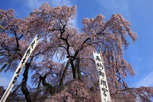 三春の滝桜3の写真素材 [FYI00197705]