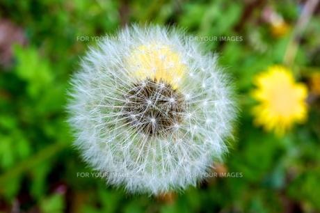 タンポポの綿毛の写真素材 [FYI00197750]