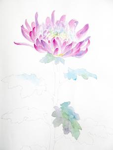 菊のスケッチの写真素材 [FYI00197794]