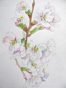 桜のスケッチの写真素材 [FYI00197799]