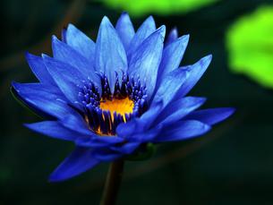 蓮の花の写真素材 [FYI00197853]