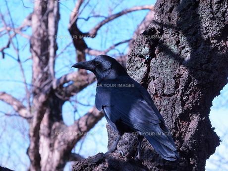 木に止まるカラスの写真素材 [FYI00197858]