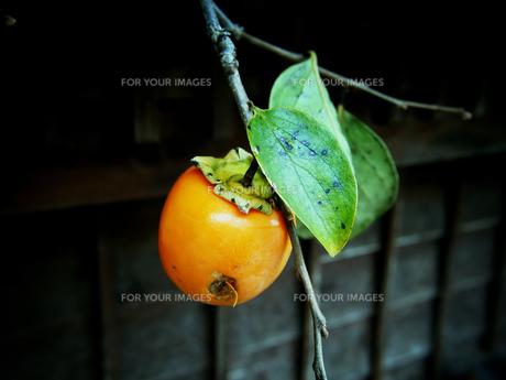 柿の写真素材 [FYI00197872]