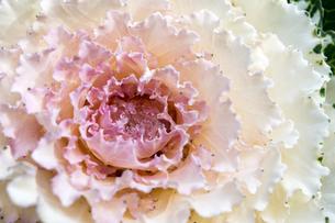 白い葉牡丹に滴の写真素材 [FYI00198206]