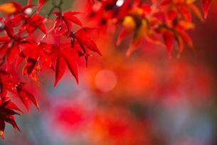 モミジ、赤強烈の写真素材 [FYI00198221]