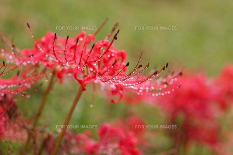 彼岸花の水滴の写真素材 [FYI00198222]