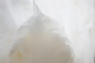 アヒルの白い尾羽根の素材 [FYI00198227]
