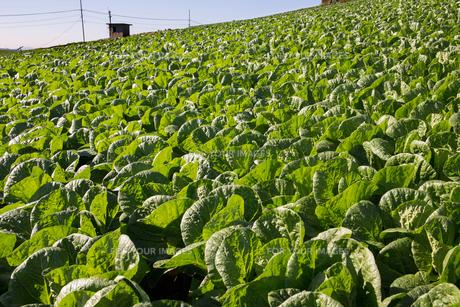 白菜畑の丘の写真素材 [FYI00198236]