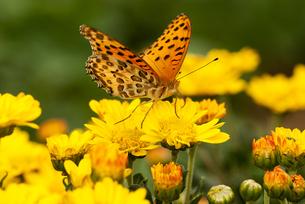 黄色い小菊にとまるヒョウモンチョウの写真素材 [FYI00198240]