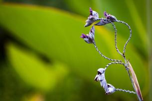 ミズカンナの紫色の花咲くの写真素材 [FYI00198241]