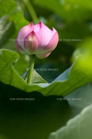 蓮の花、立ち上がるの素材 [FYI00198283]