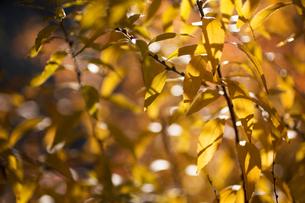 ユキヤナギ黄葉の写真素材 [FYI00198298]
