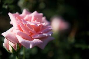 バラ:サマーレディの写真素材 [FYI00198322]