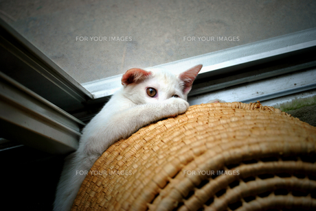 A cat in the house⑧の写真素材 [FYI00198360]